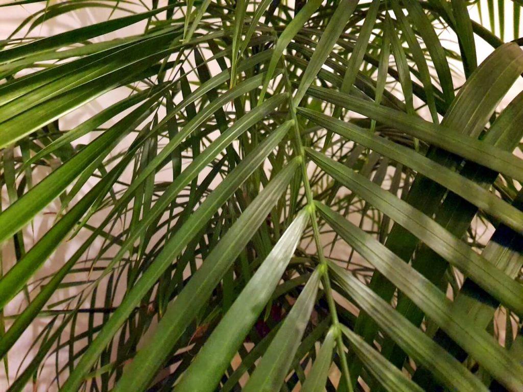 Blätter einer Areca-Palme