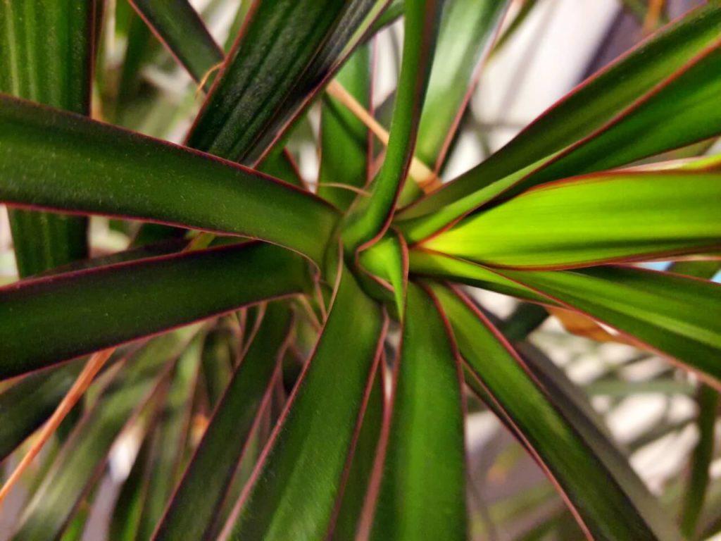 bunte Blätter der Dracaena