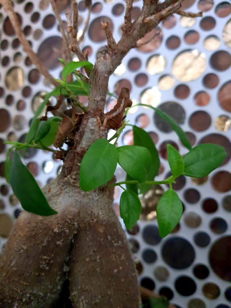 Blätter des Ficus Ginseng