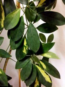 Schefflera-Blätter im Detail